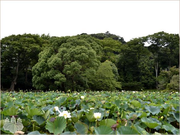 鶴岡八幡宮「平家池」