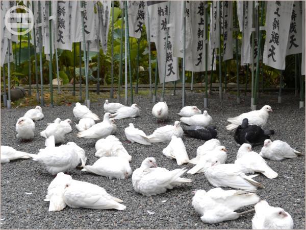『旗上弁財天社』の白鳩たち